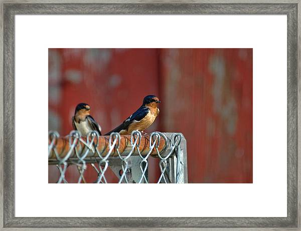 Framed Print featuring the photograph Barn Swallow by David Armstrong