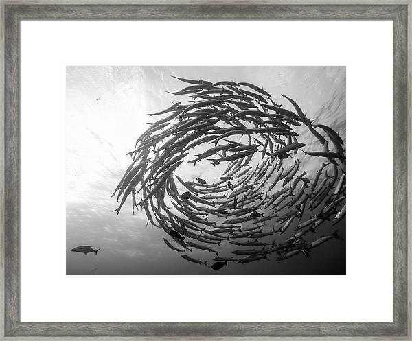 Barracuda Tornado Framed Print