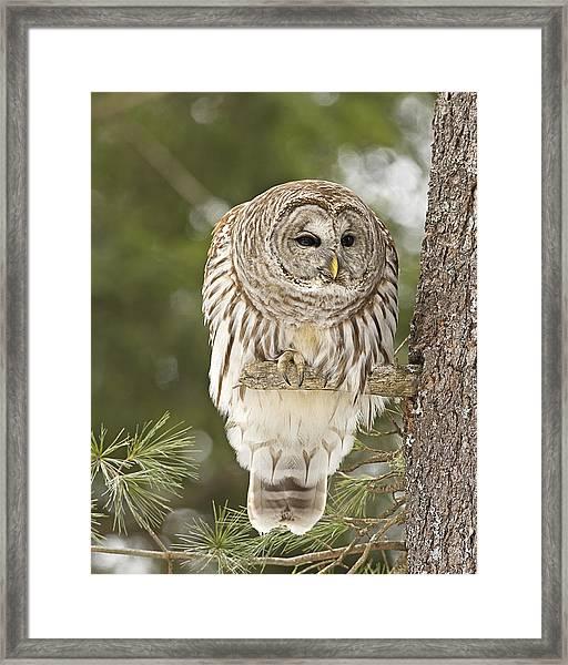Barred Owl Hunting Framed Print