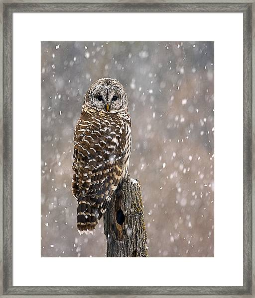Barred Owl In A New England Snow Storm Framed Print