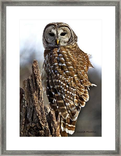 Barred Owl Portrait 1 Framed Print by Gerald Marella