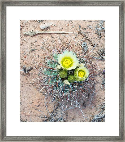 Barrel Cactus Blossoms Framed Print