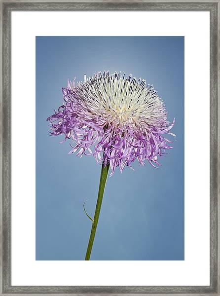 Basket-flower Blocking The Sun Framed Print