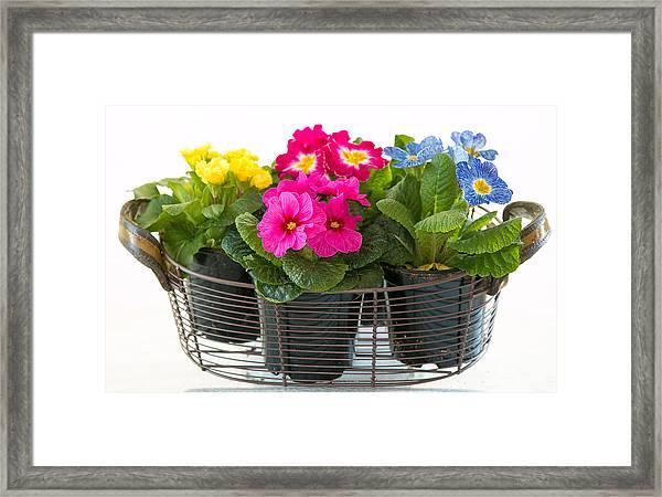 Basket Of Primroses Framed Print