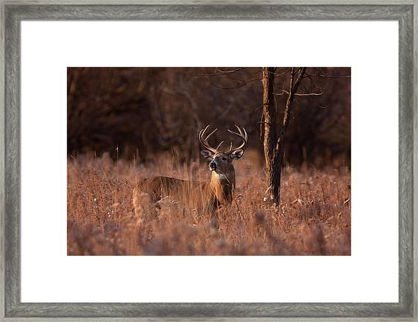 Basking In The Light - White-tailed Buck Framed Print by Jim Cumming