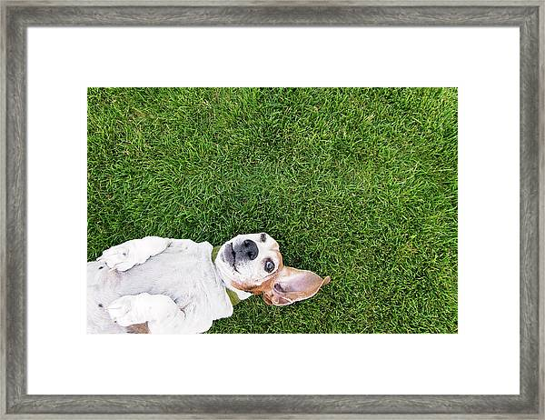 Bassett Hound On Back Framed Print by Paws On The Run Photography