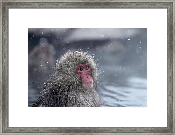 Bathing Snow Monkey Framed Print