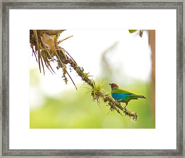 Bay-headed Tanager Framed Print by Brian Magnier