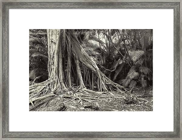 Strangler Fig Framed Print