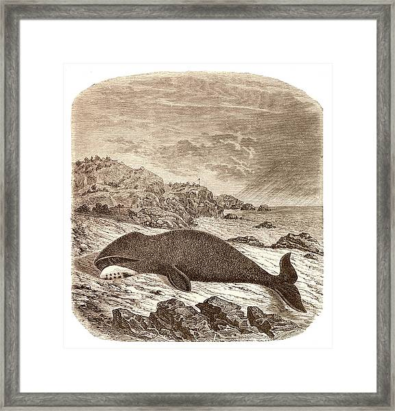 Beached Or Stranded Northern Whale Framed Print