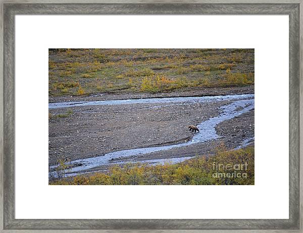 Bear In Alaska Framed Print
