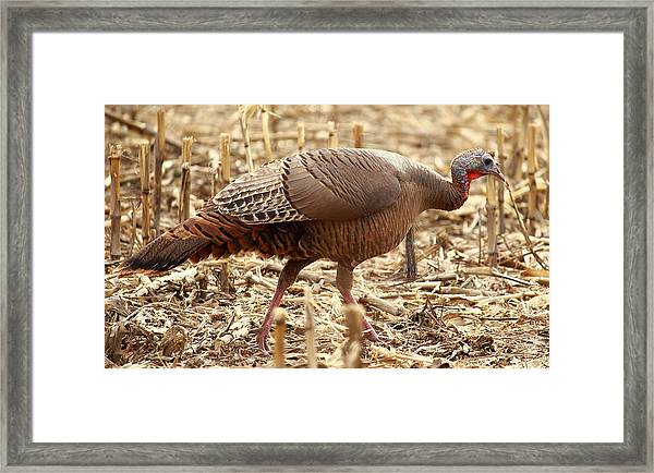 Bearded Wild Turkey Hen Framed Print