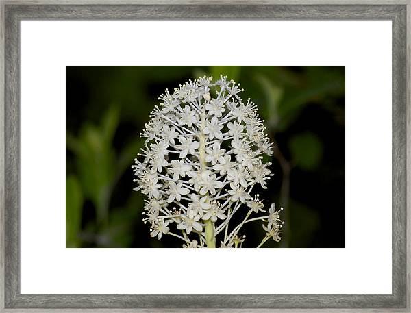 Beargrass Or Turkey Beard Framed Print