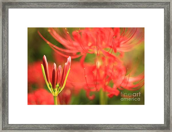 Beautiful Amaryllis Flower Red Spider Lily Aka Resurrection Lily Framed Print