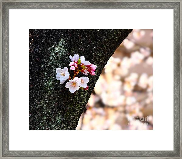 Beautiful Cherry Blossoms Blooming From Tree Trunk Framed Print