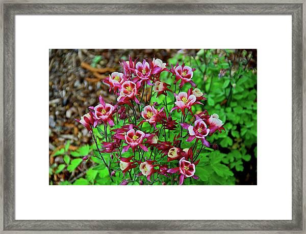 Beautiful Columbine   Framed Print
