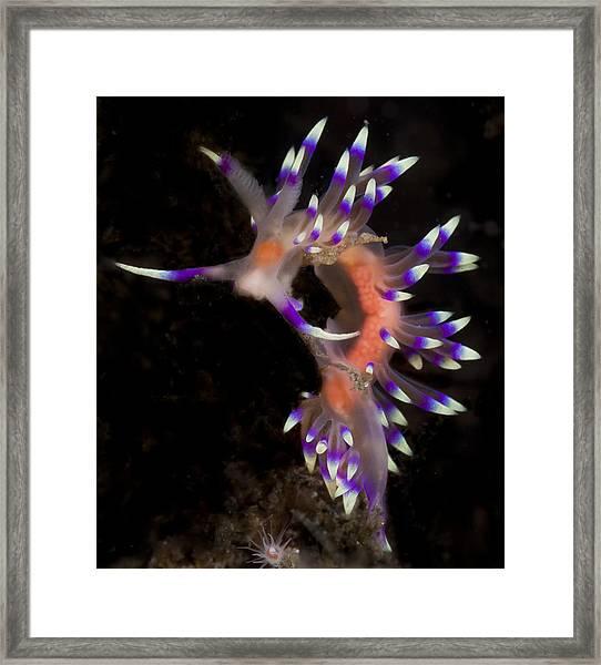 Beautiful Flabellina Framed Print