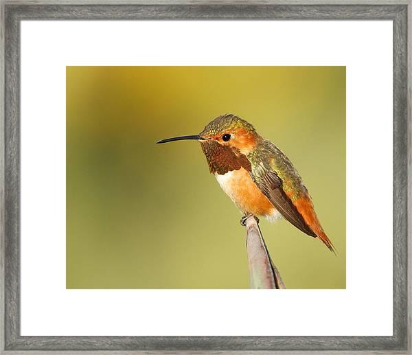 Beautiful Hummingbird Framed Print