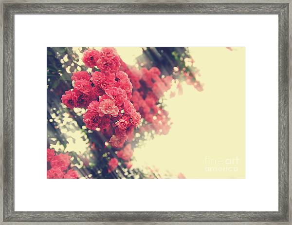 Beautiful Pink Climbing Roses With Streaming Sunlight Framed Print