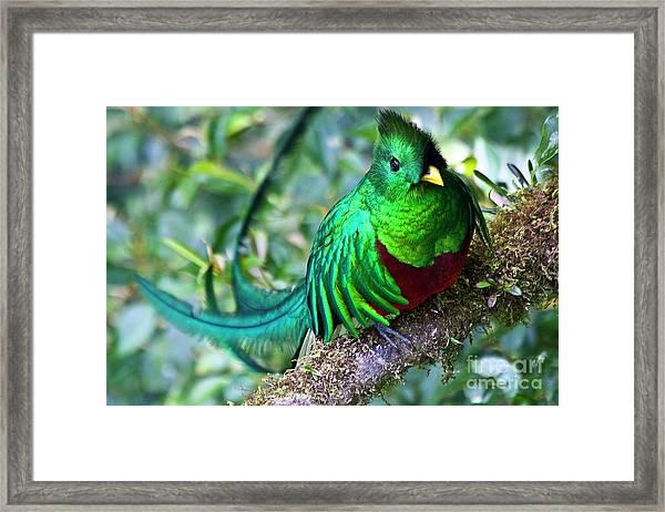 Beautiful Quetzal 4 Framed Print