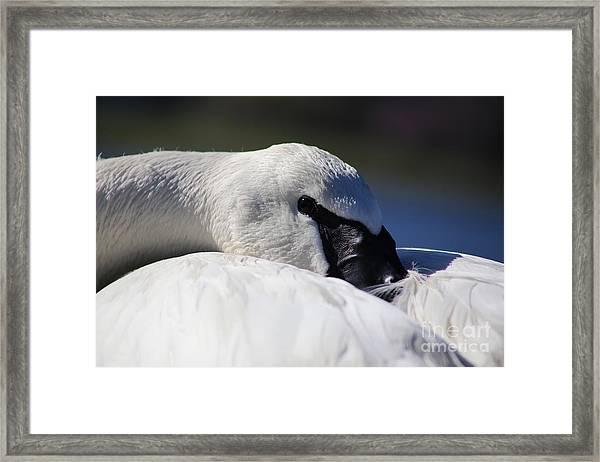 Beautiful Trumpeter Swan Framed Print