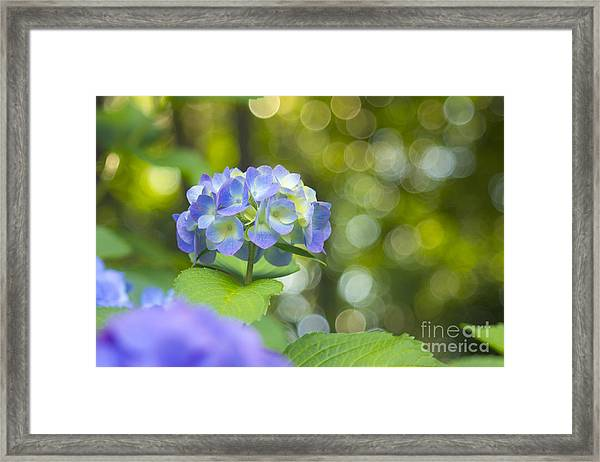 Beautiful Violet Hydrangea With Green Leaves And Bokeh Lights Framed Print