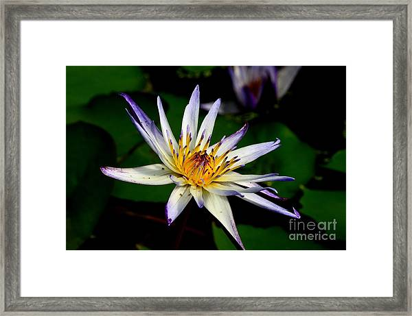 Beautiful Violet White And Yellow Water Lily Flower Framed Print