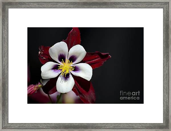Beautiful White Petal Yellow Stamen Purple Shades Aquilegia Columbine Flower Framed Print