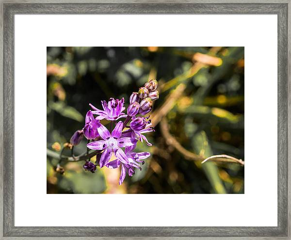 Scilla Bifolia Beautiful Wild Flower Country Framed Print