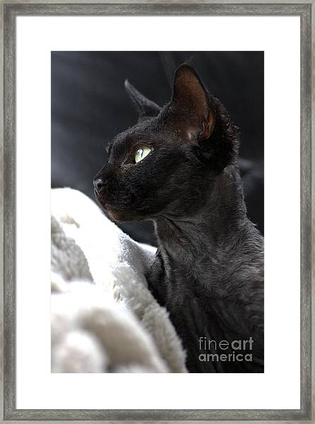 Beauty Of The Rex Cat Framed Print