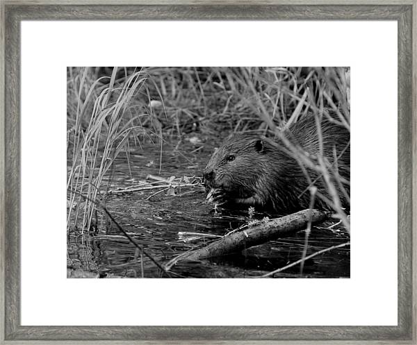 Beaver Framed Print