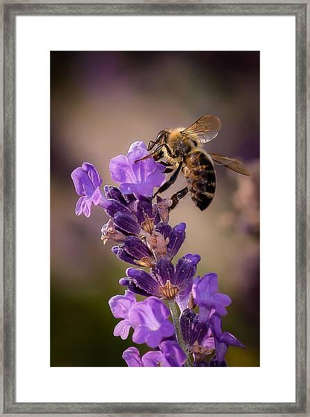 Honeybee Working Lavender Framed Print