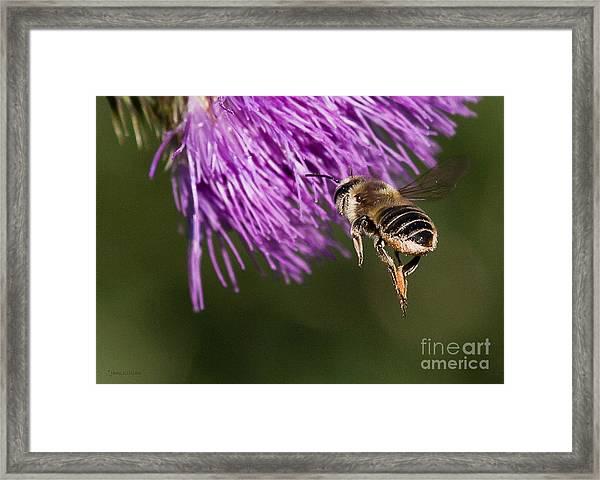 Bee Butt Framed Print
