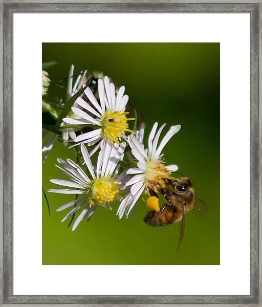 Bee Harvest Framed Print