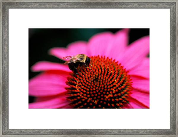 Bee On Flower Framed Print