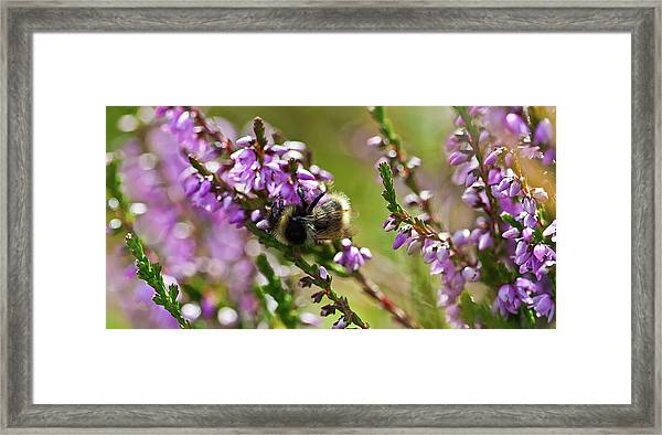 Bee On Heather Framed Print