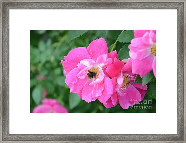 Bee Rosy Framed Print