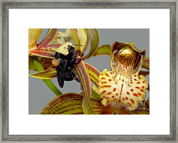 Bee With Pollen Sac On Its Back Framed Print