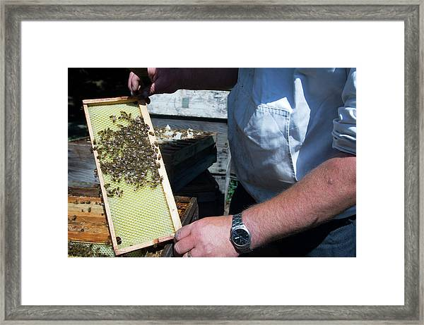 Beekeeper Holding A Brood Frame Framed Print