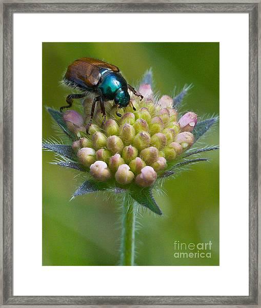 Beetle Sitting On Flower Framed Print