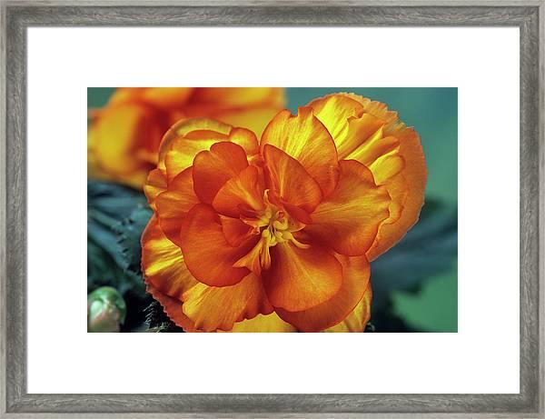Begonia (begonia Tuberhybrida 'picotee') Framed Print by Ann Pickford/science Photo Library