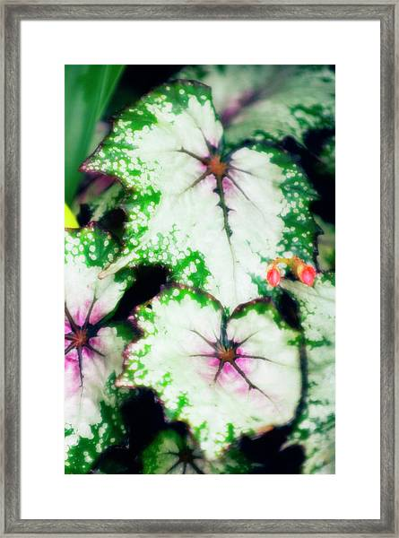 Begonia Leaves (begonia 'uncle Remus') Framed Print by Maria Mosolova/science Photo Library