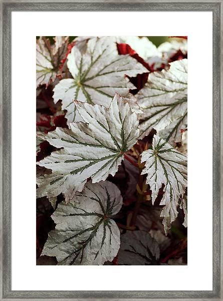 Begonia 'looking Glass' Framed Print by Maria Mosolova