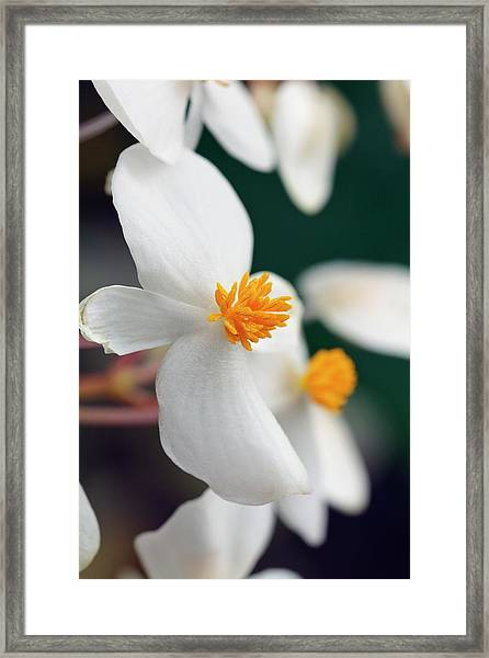 Begonia Minor Framed Print by Geoff Kidd/science Photo Library