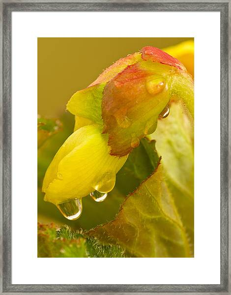 Begonia Raindrops  Framed Print
