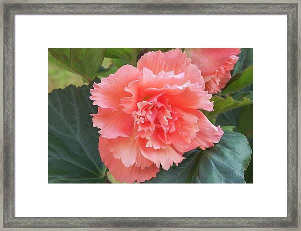 Begonia X Tuberhybrida 'samba' Framed Print by Ann Pickford/science Photo Library
