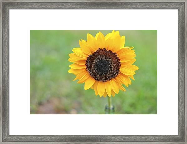 Big Bright Yellow Colorful Sunflower Art Print Framed Print
