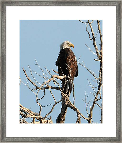 Framed Print featuring the photograph Big Horn Bald Eagle by David Armstrong