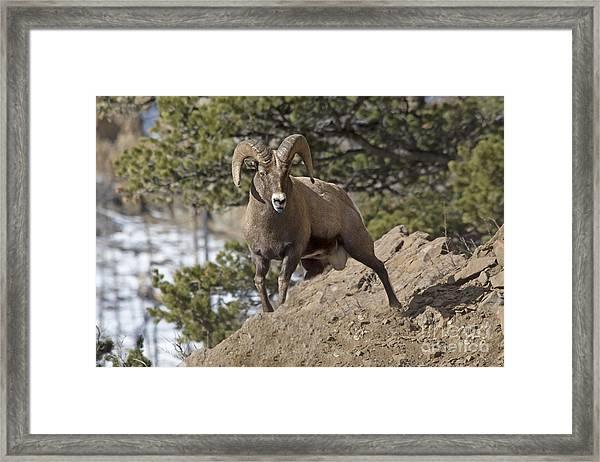 Big Horn Ram Framed Print