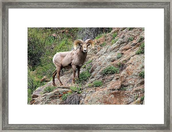 Bighorn Sheep Framed Print by Kathy Eastmond